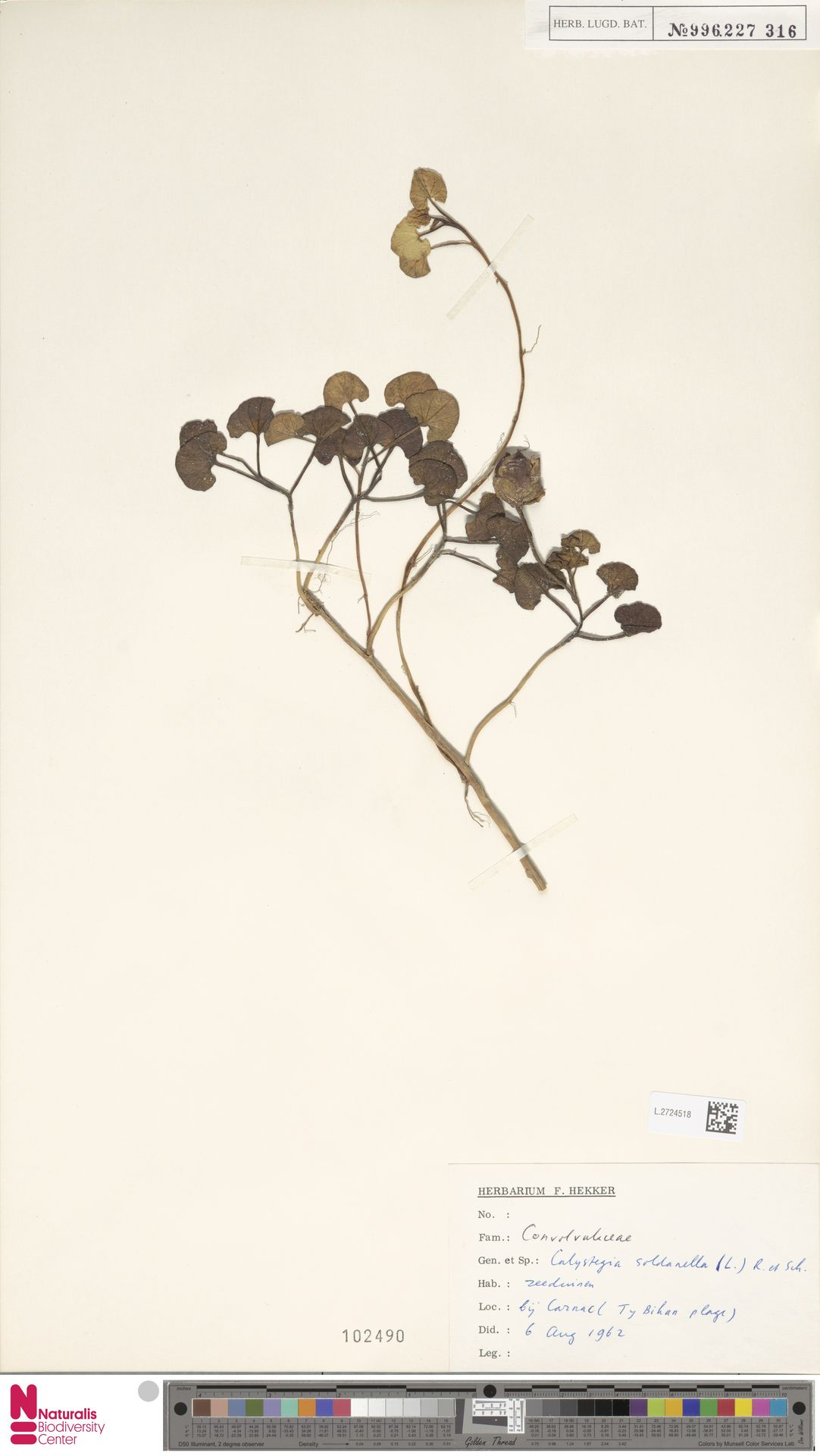L.2724518 | Calystegia soldanella (L.) R.Br.