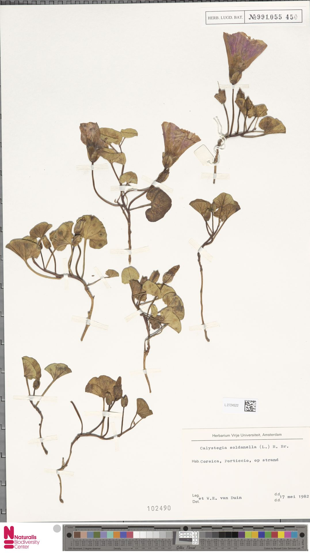 L.2724522   Calystegia soldanella (L.) R.Br.