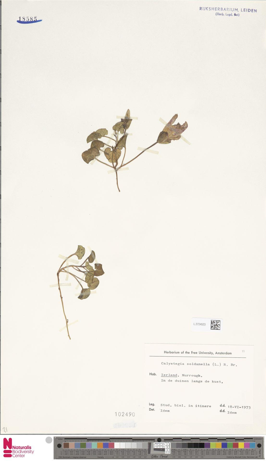 L.2724523 | Calystegia soldanella (L.) R.Br.