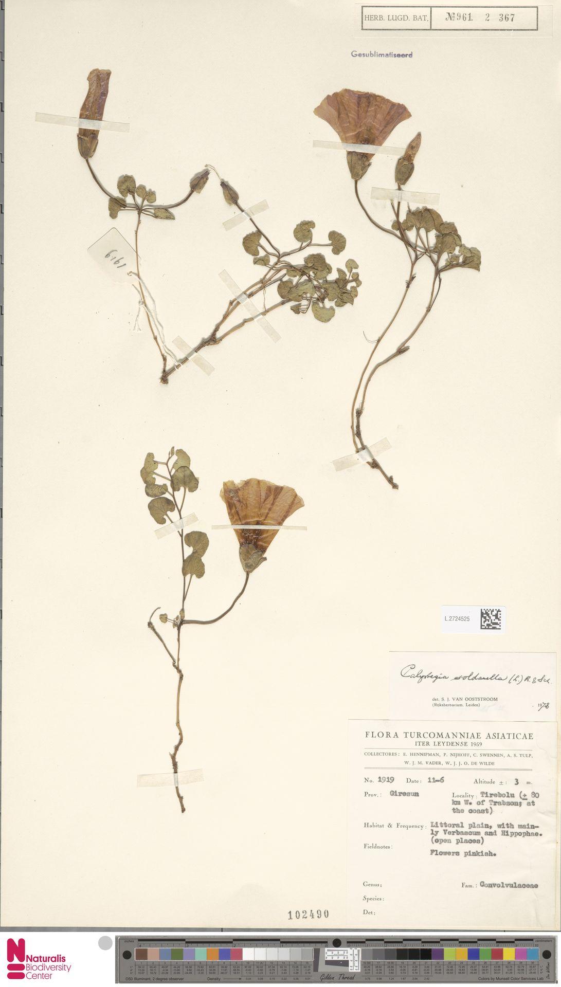 L.2724525 | Calystegia soldanella (L.) R.Br.