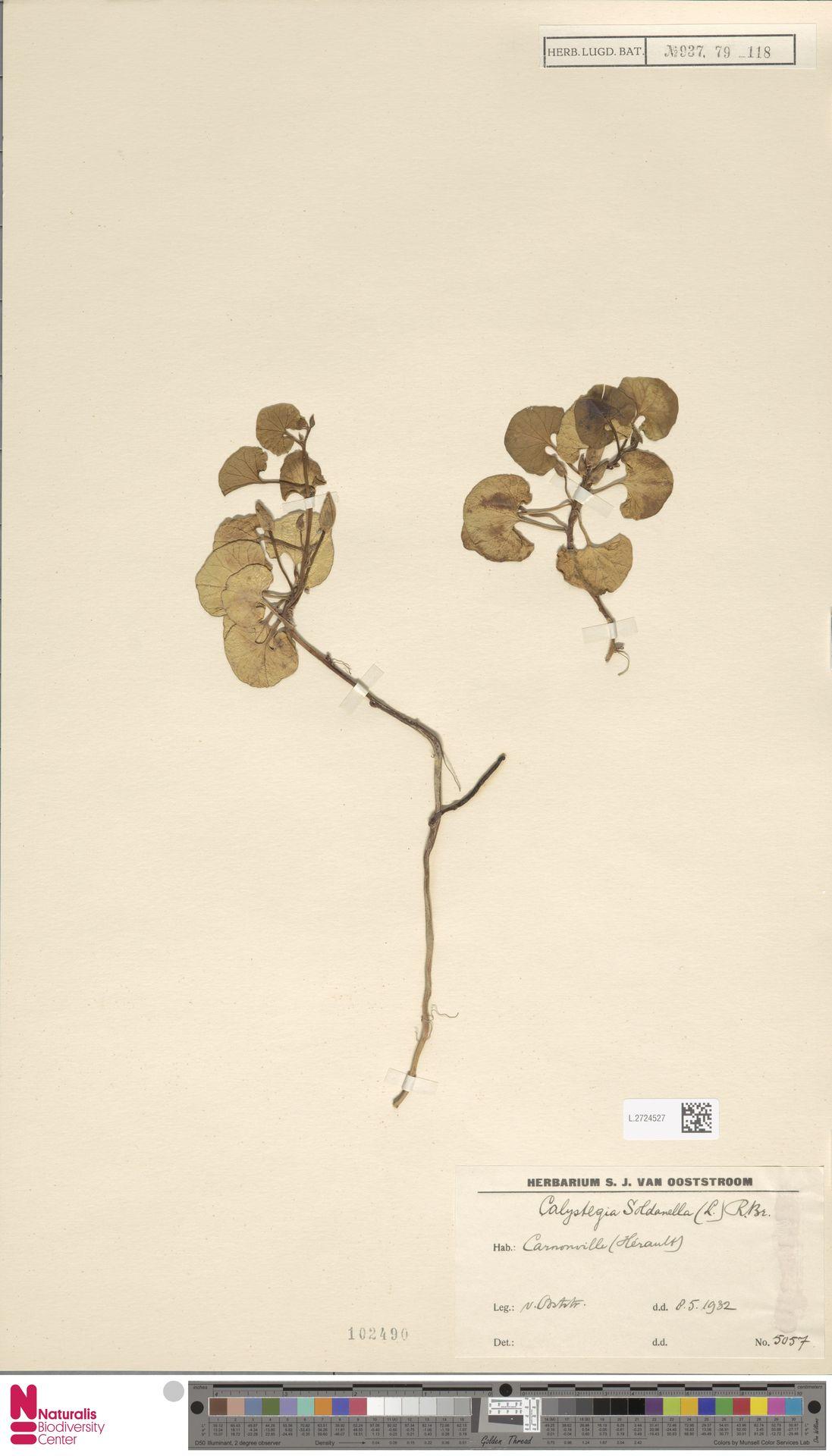 L.2724527 | Calystegia soldanella (L.) R.Br.