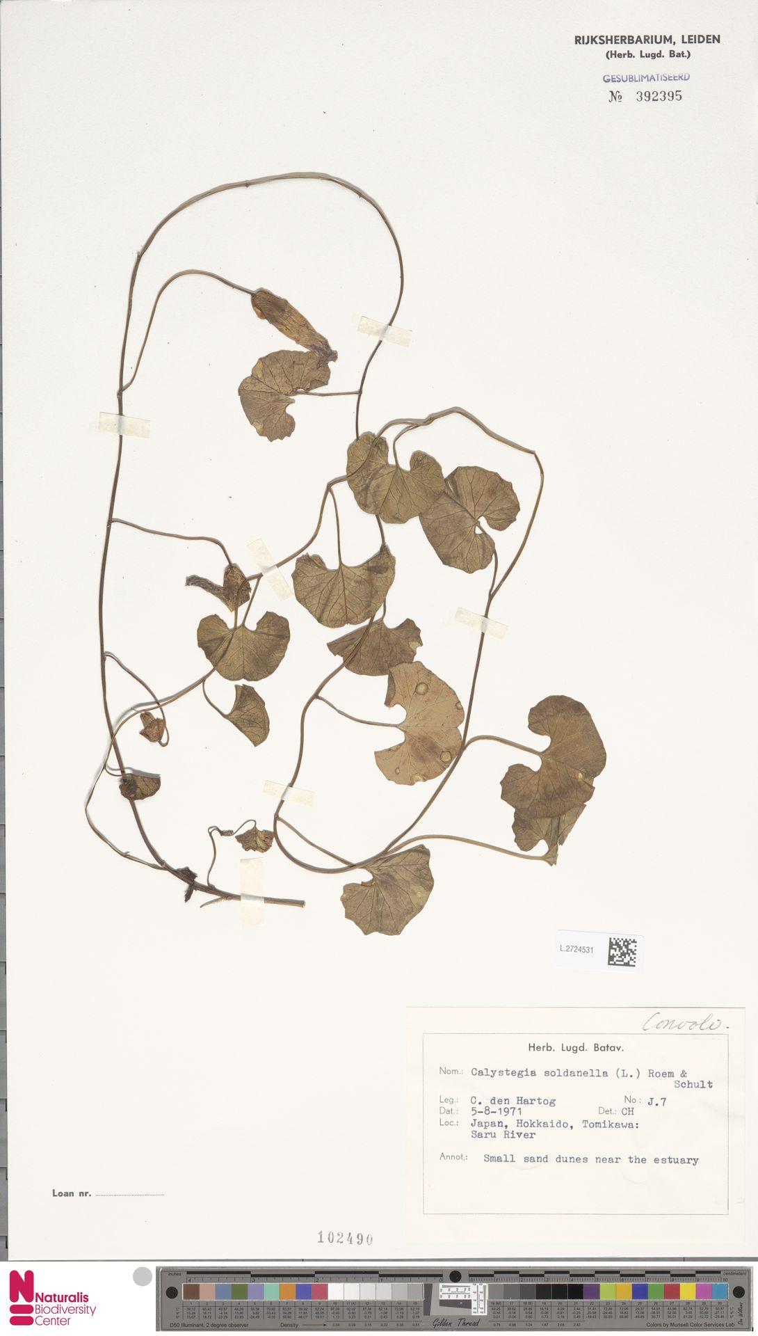 L.2724531   Calystegia soldanella (L.) R.Br.