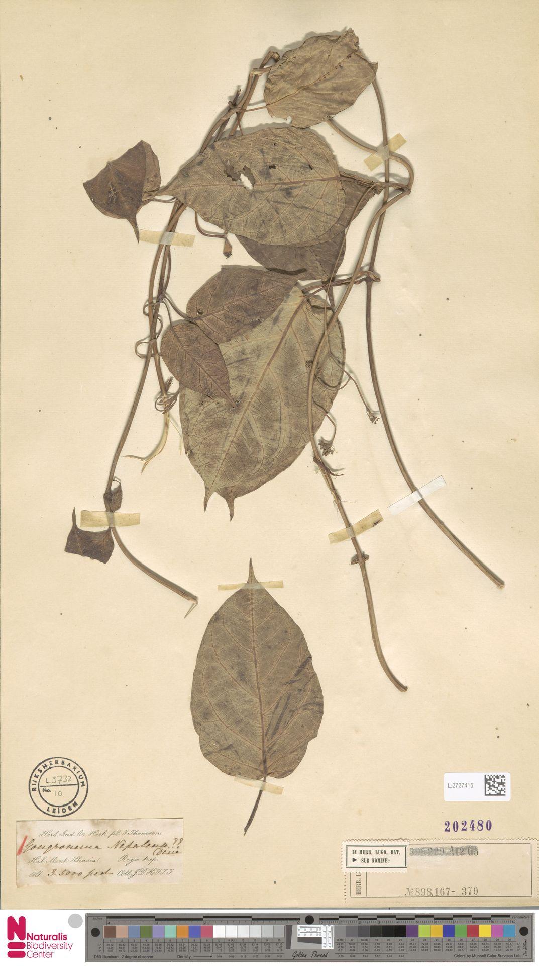 L.2727415 | Gongronema nepalense (Wall.) Decne.