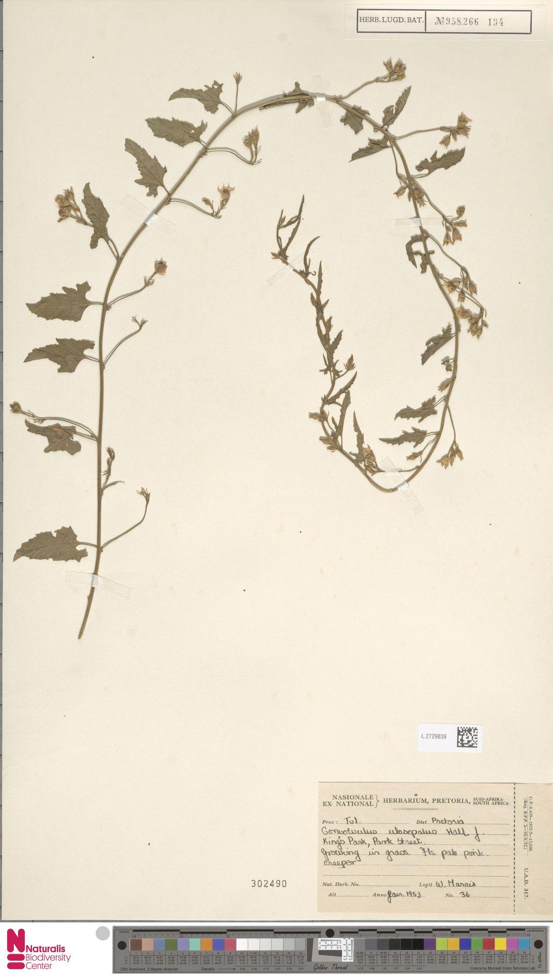 L.2729839 | Convolvulus ulosepalus Hallier f.