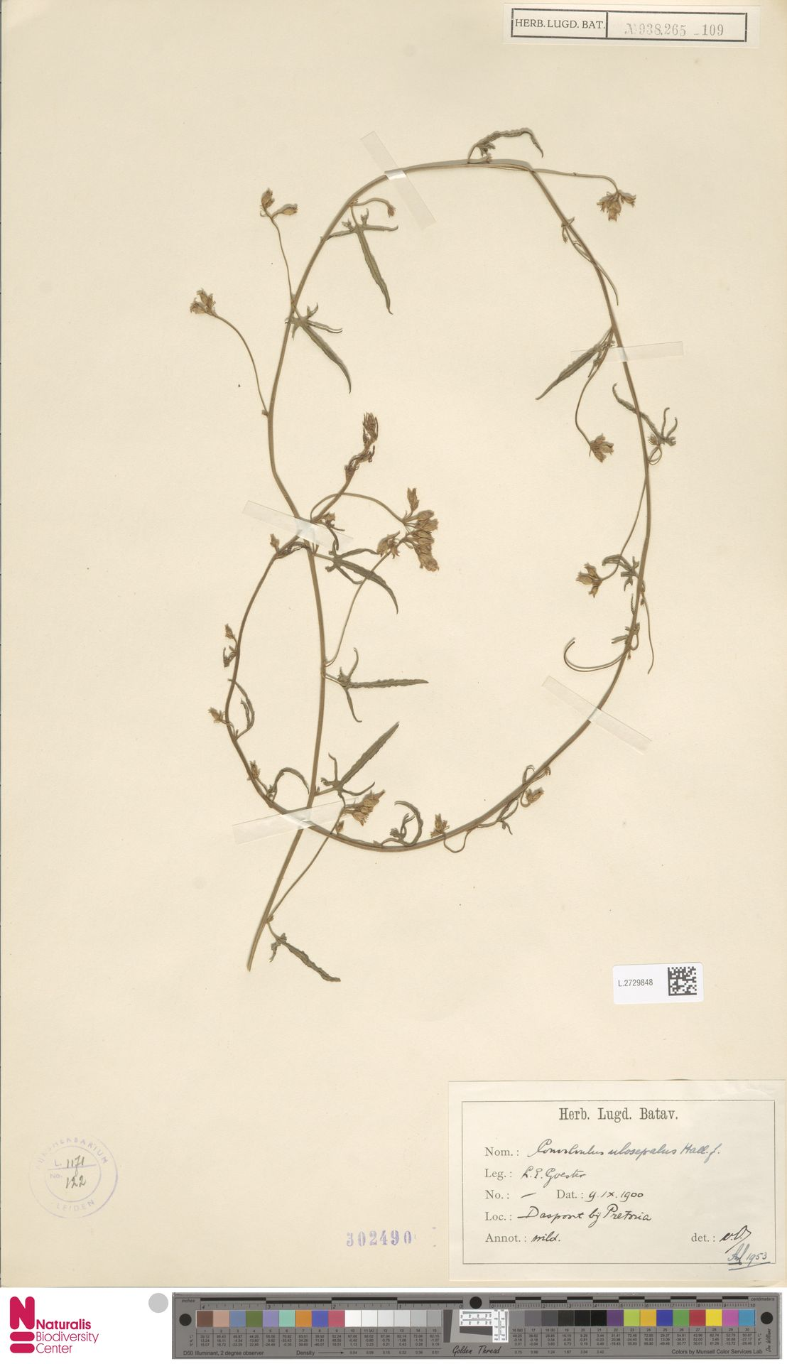 L.2729848 | Convolvulus ulosepalus Hallier f.