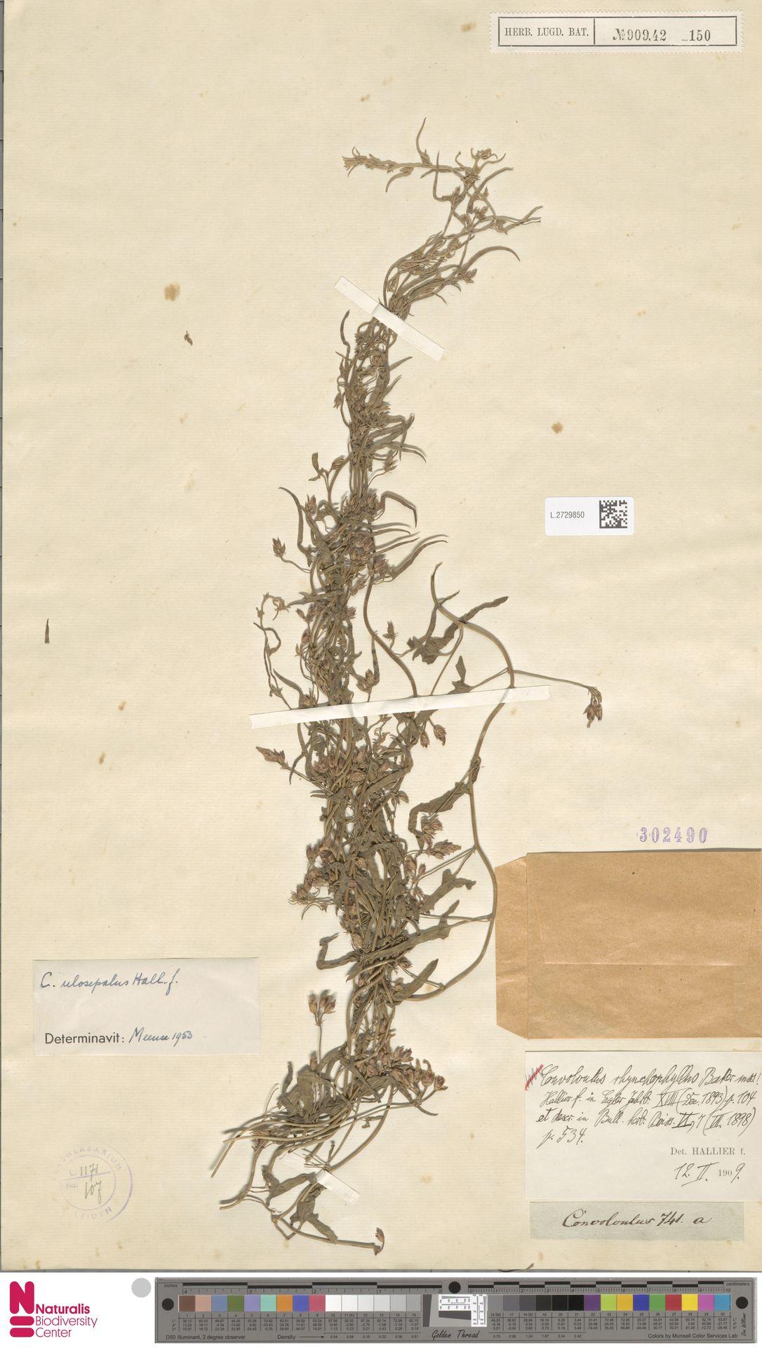 L.2729850 | Convolvulus ulosepalus Hallier f.