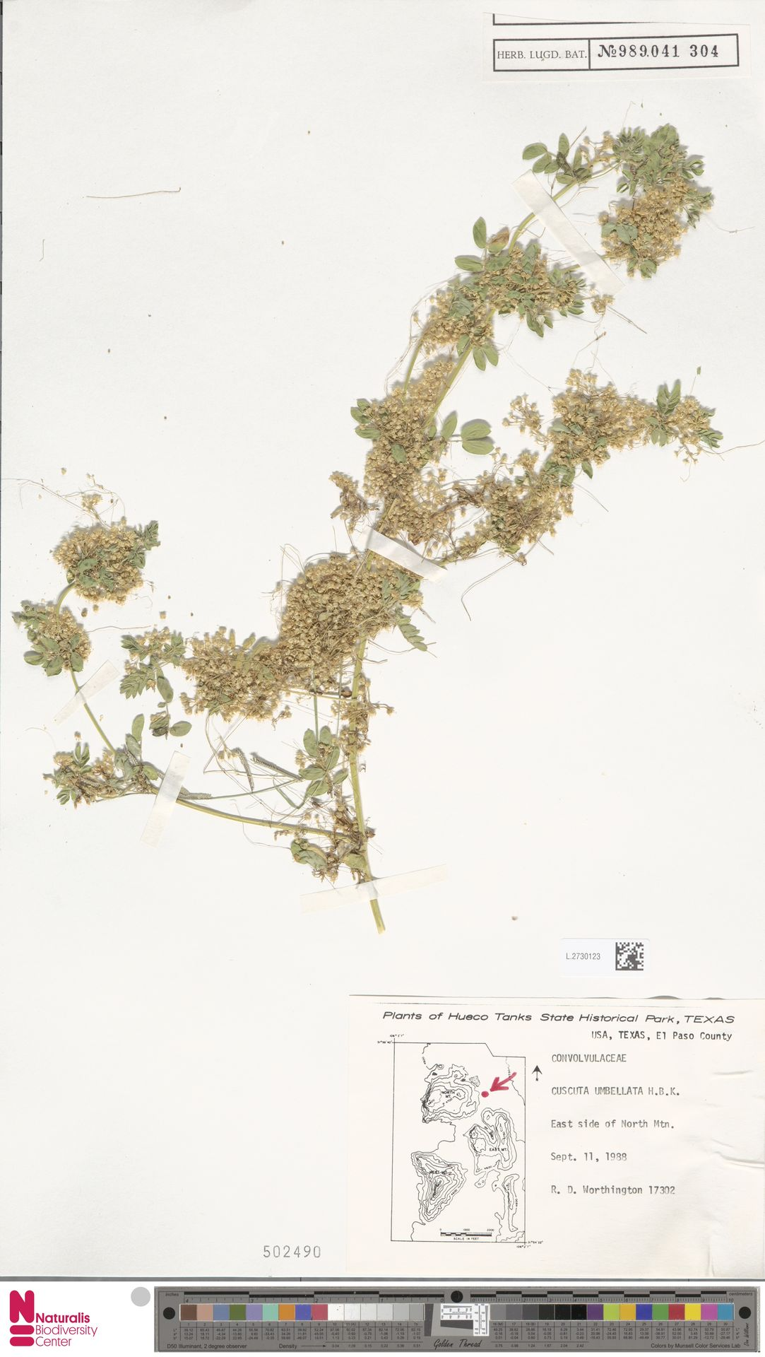 L.2730123 | Cuscuta umbellata Humb., Bonpl. & Kunth