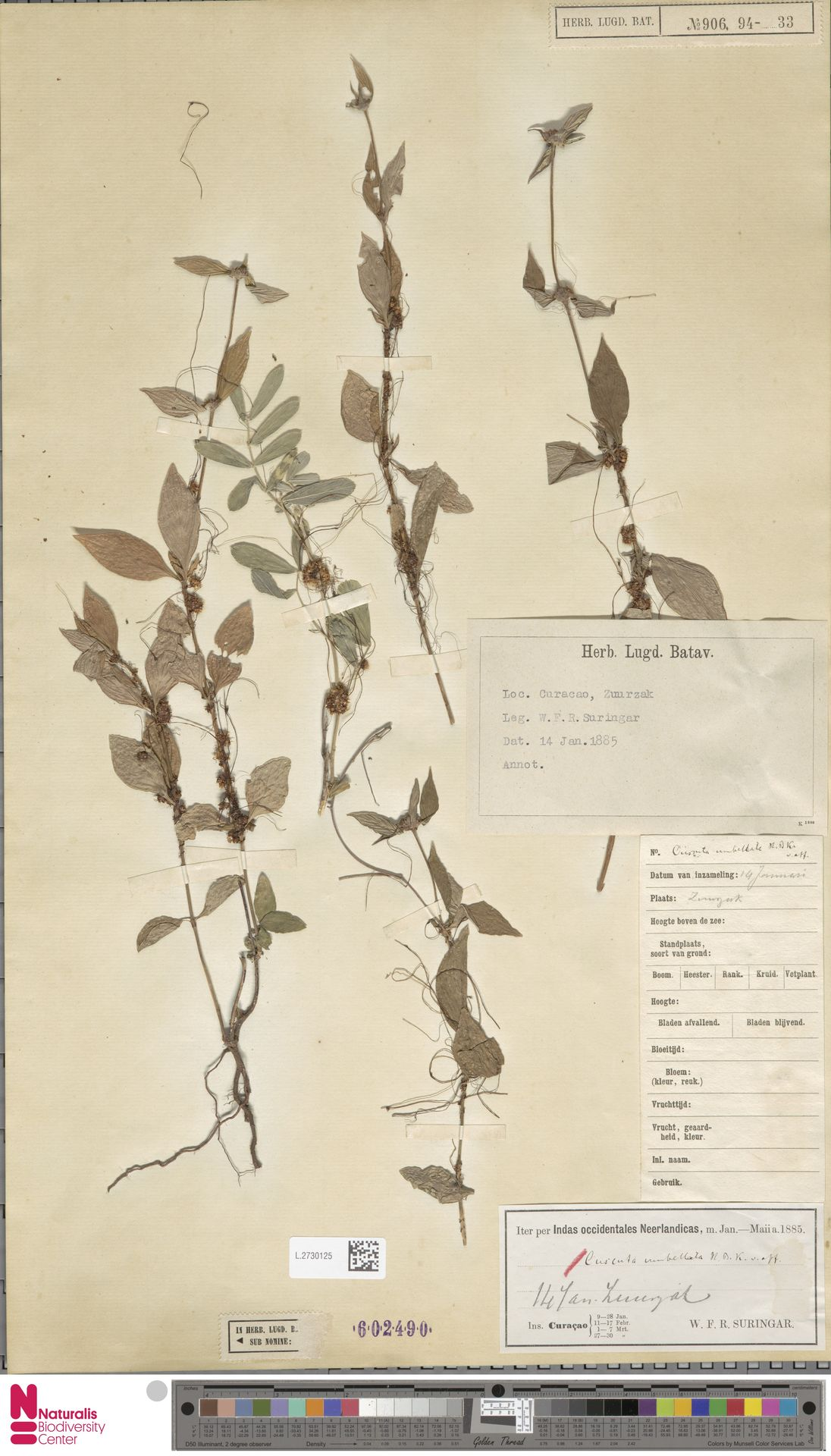 L.2730125 | Cuscuta umbellata Humb., Bonpl. & Kunth