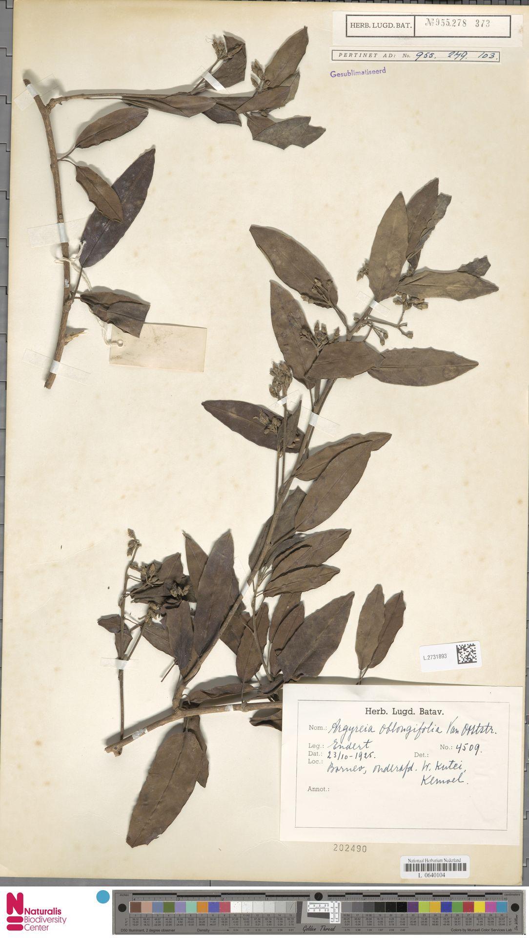 L.2731893 | Argyreia oblongifolia Ooststr.