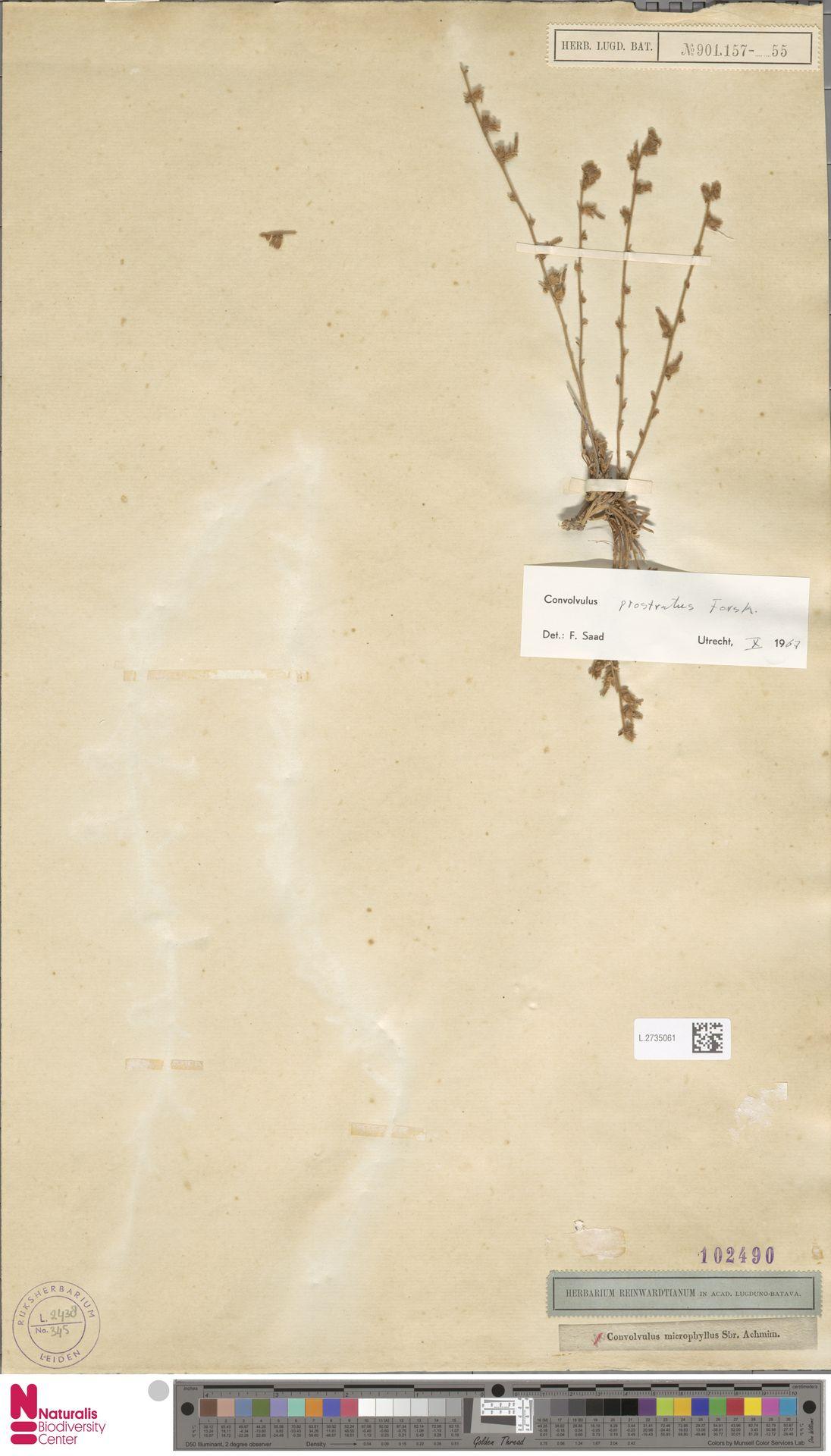 L.2735061   Convolvulus prostratus Forssk.