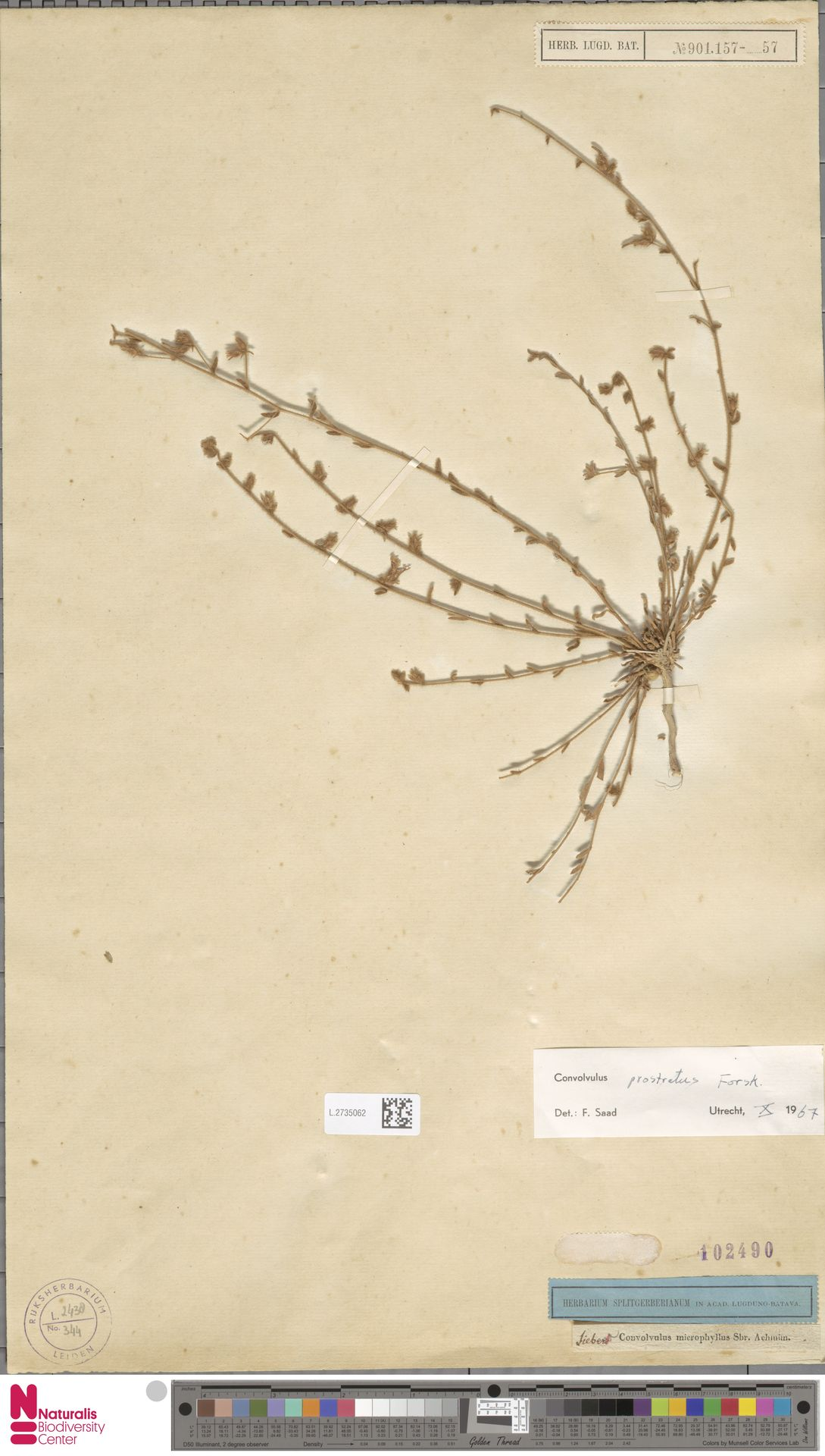 L.2735062   Convolvulus prostratus Forssk.
