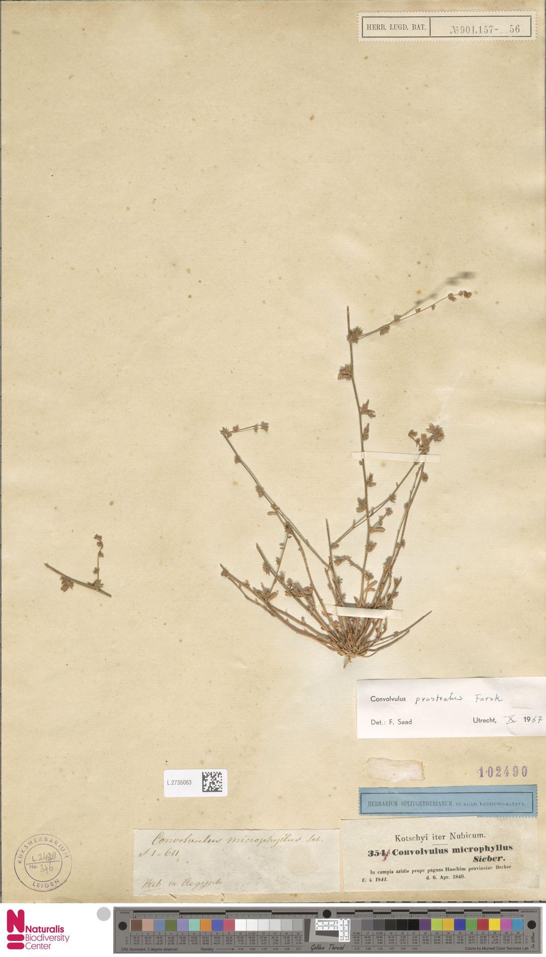 L.2735063   Convolvulus prostratus Forssk.