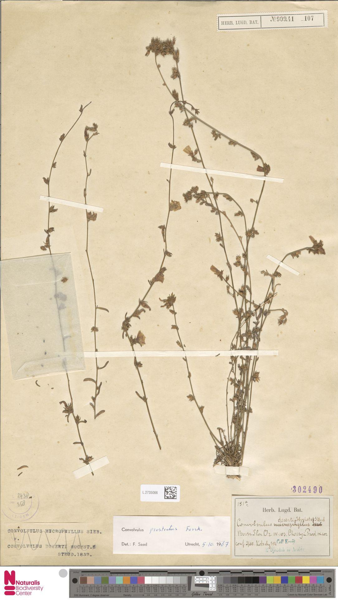 L.2735066   Convolvulus prostratus Forssk.
