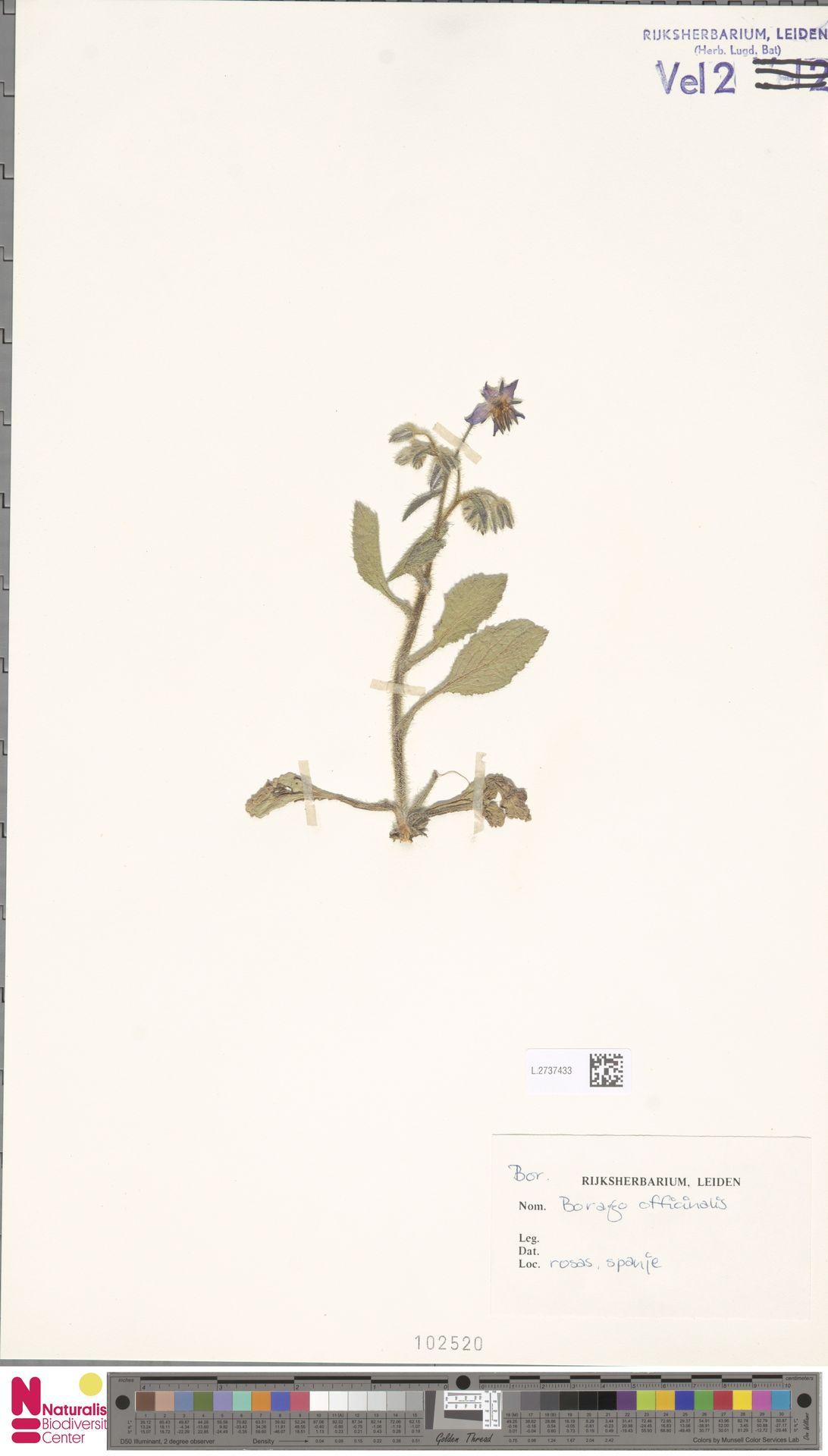 L.2737433 | Borago officinalis L.
