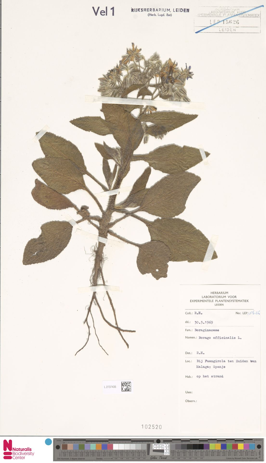L.2737435 | Borago officinalis L.