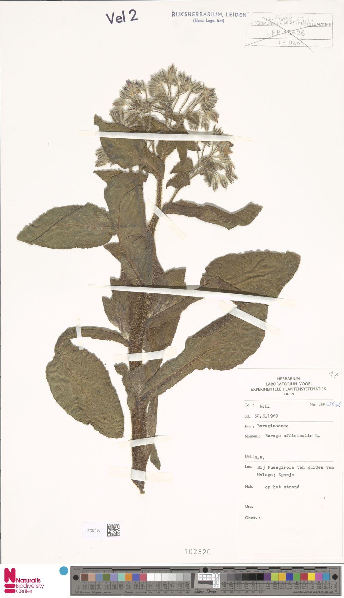 L.2737436 | Borago officinalis L.