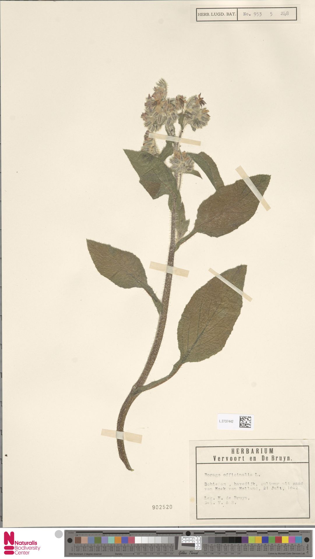 L.2737442 | Borago officinalis L.