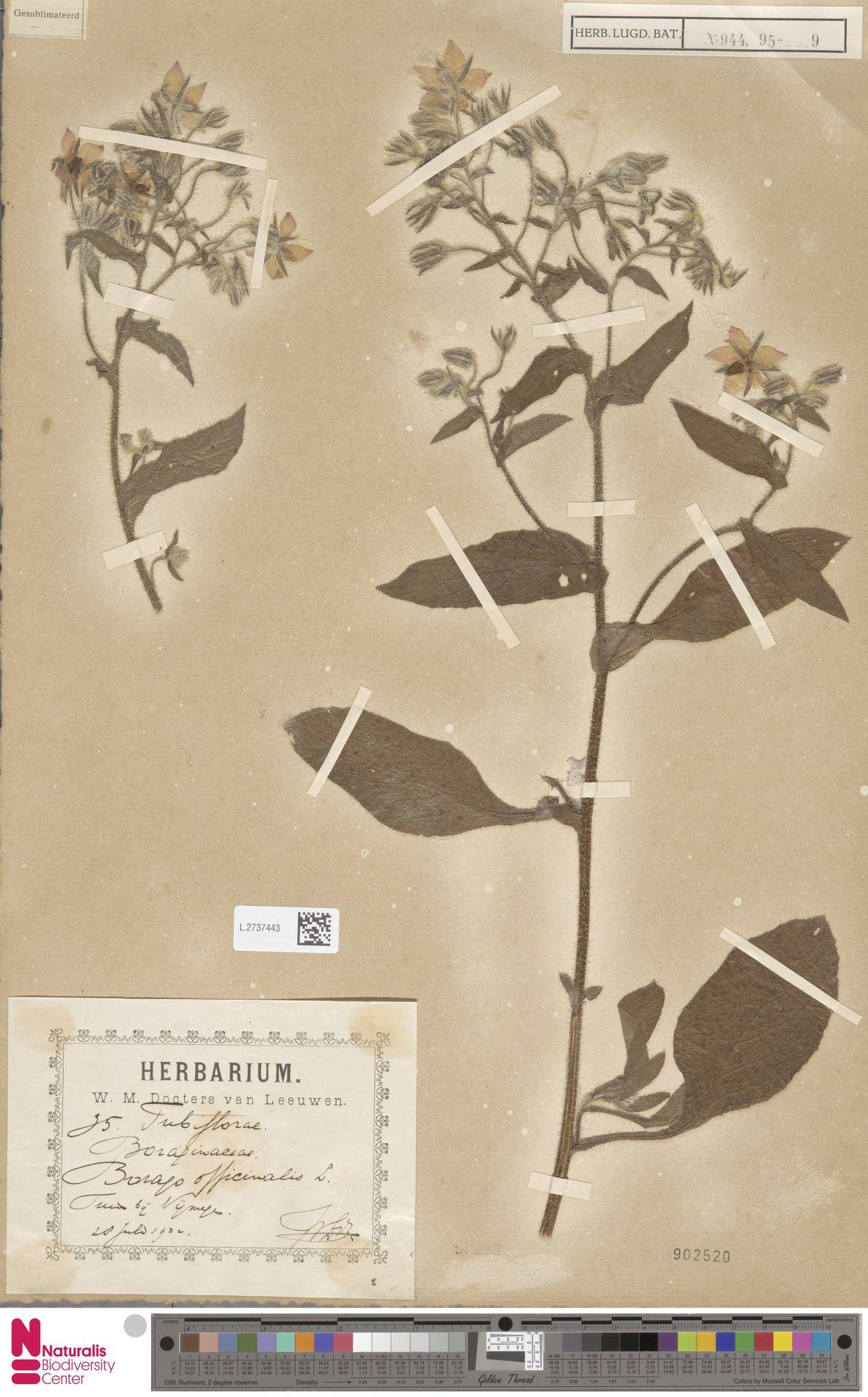 L.2737443 | Borago officinalis L.