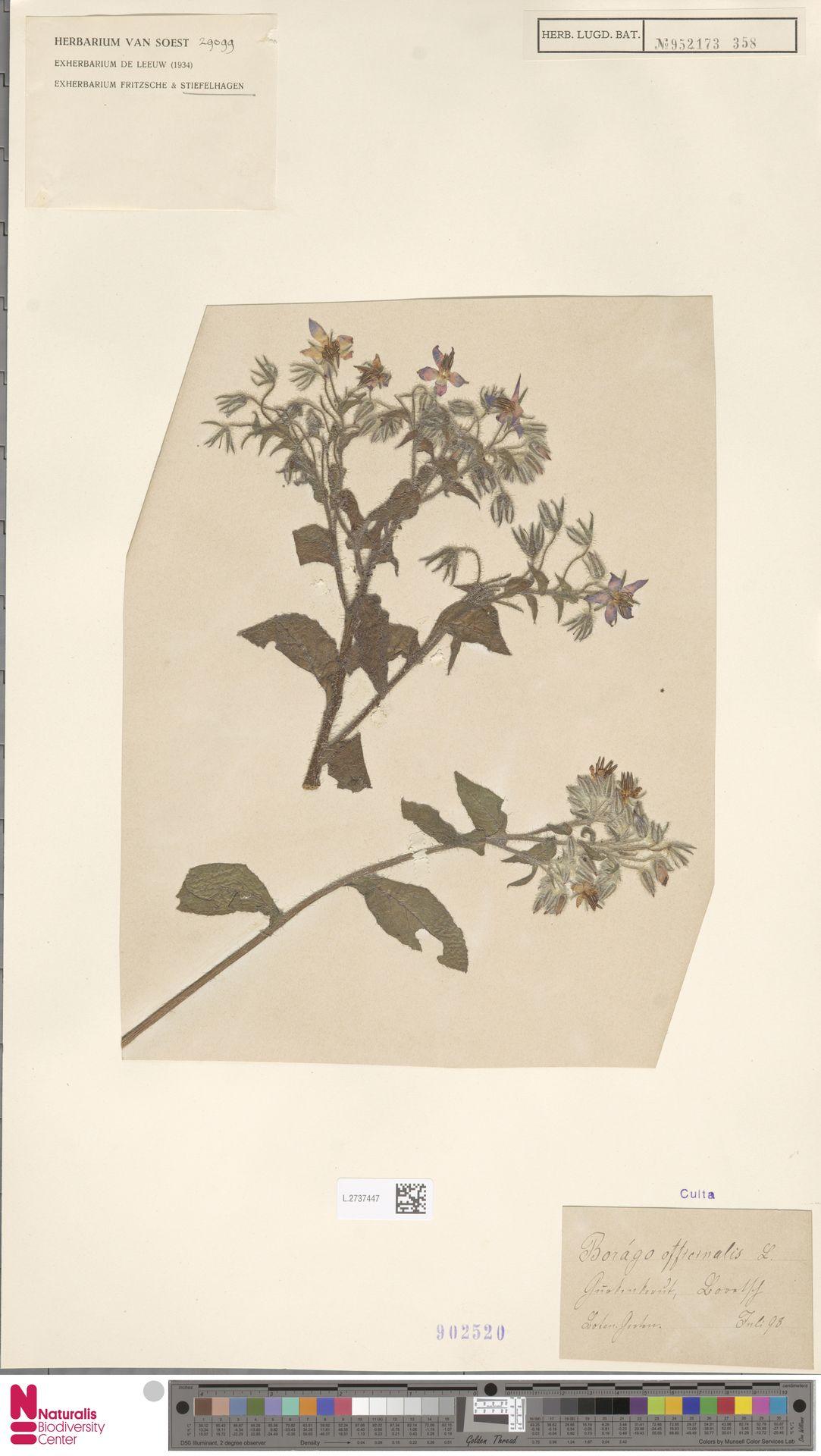 L.2737447 | Borago officinalis L.