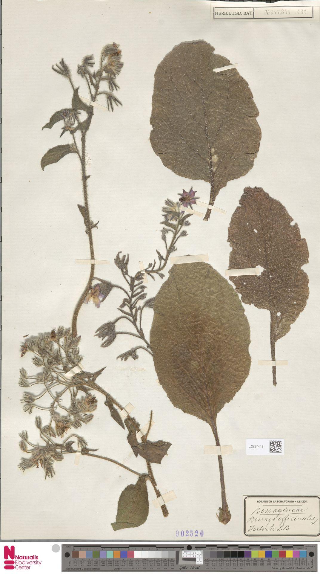 L.2737448 | Borago officinalis L.