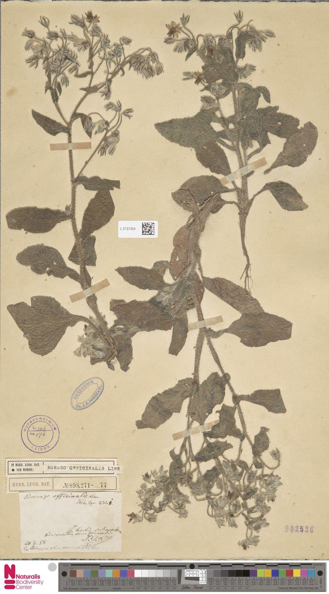L.2737454   Borago officinalis L.