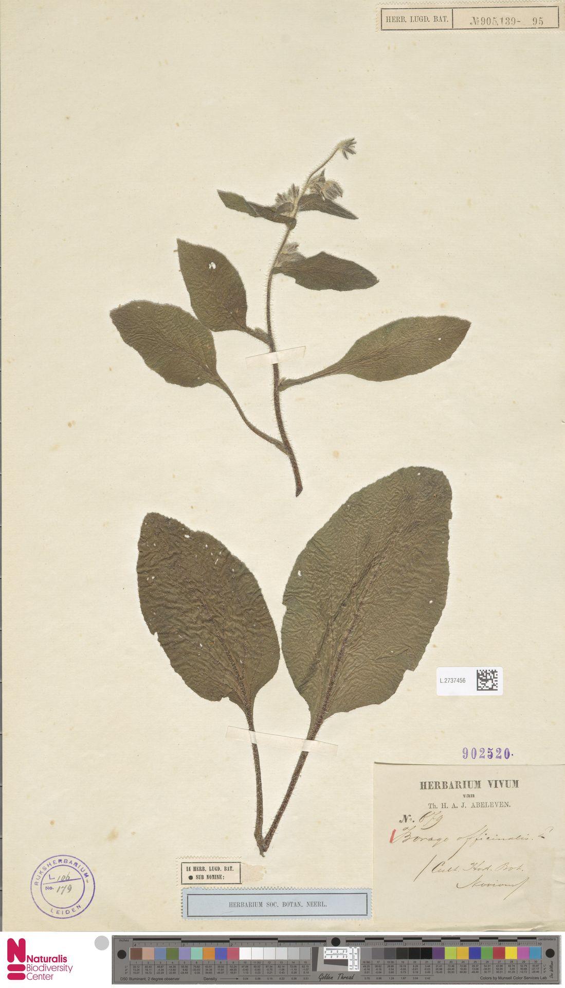 L.2737456 | Borago officinalis L.