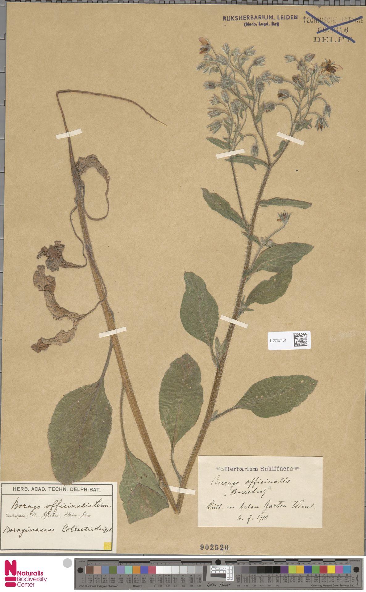 L.2737461 | Borago officinalis L.