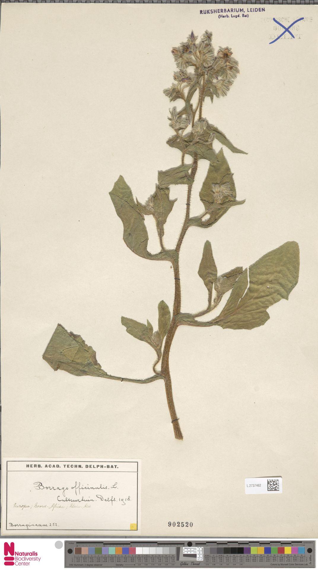 L.2737462 | Borago officinalis L.