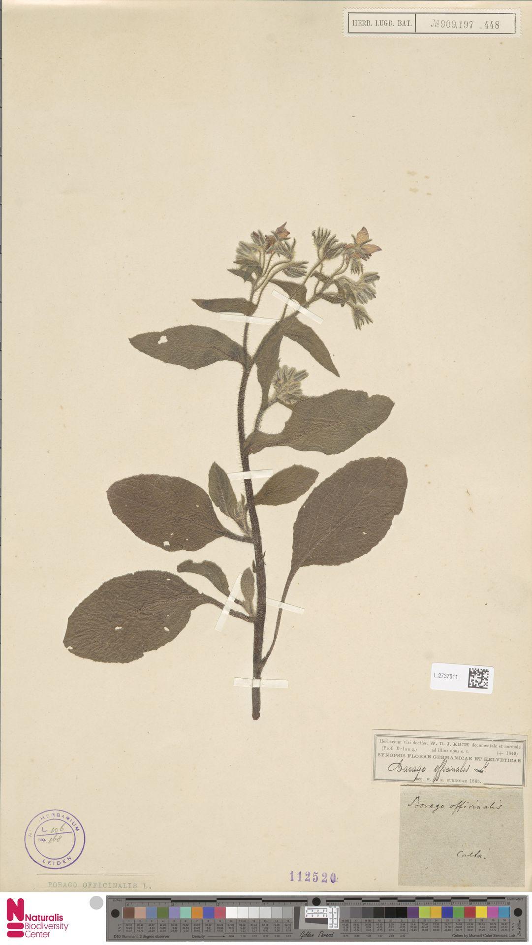L.2737511 | Borago officinalis L.
