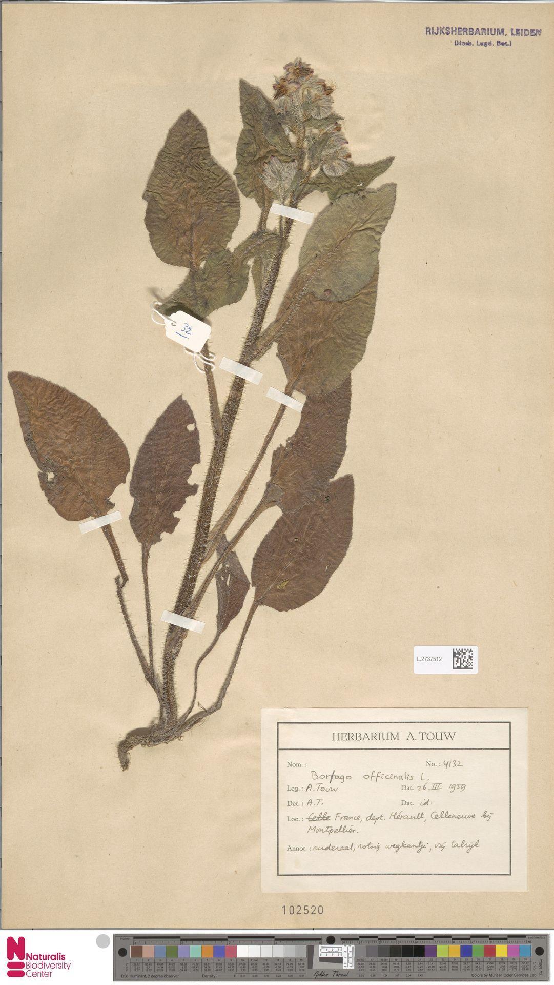 L.2737512 | Borago officinalis L.