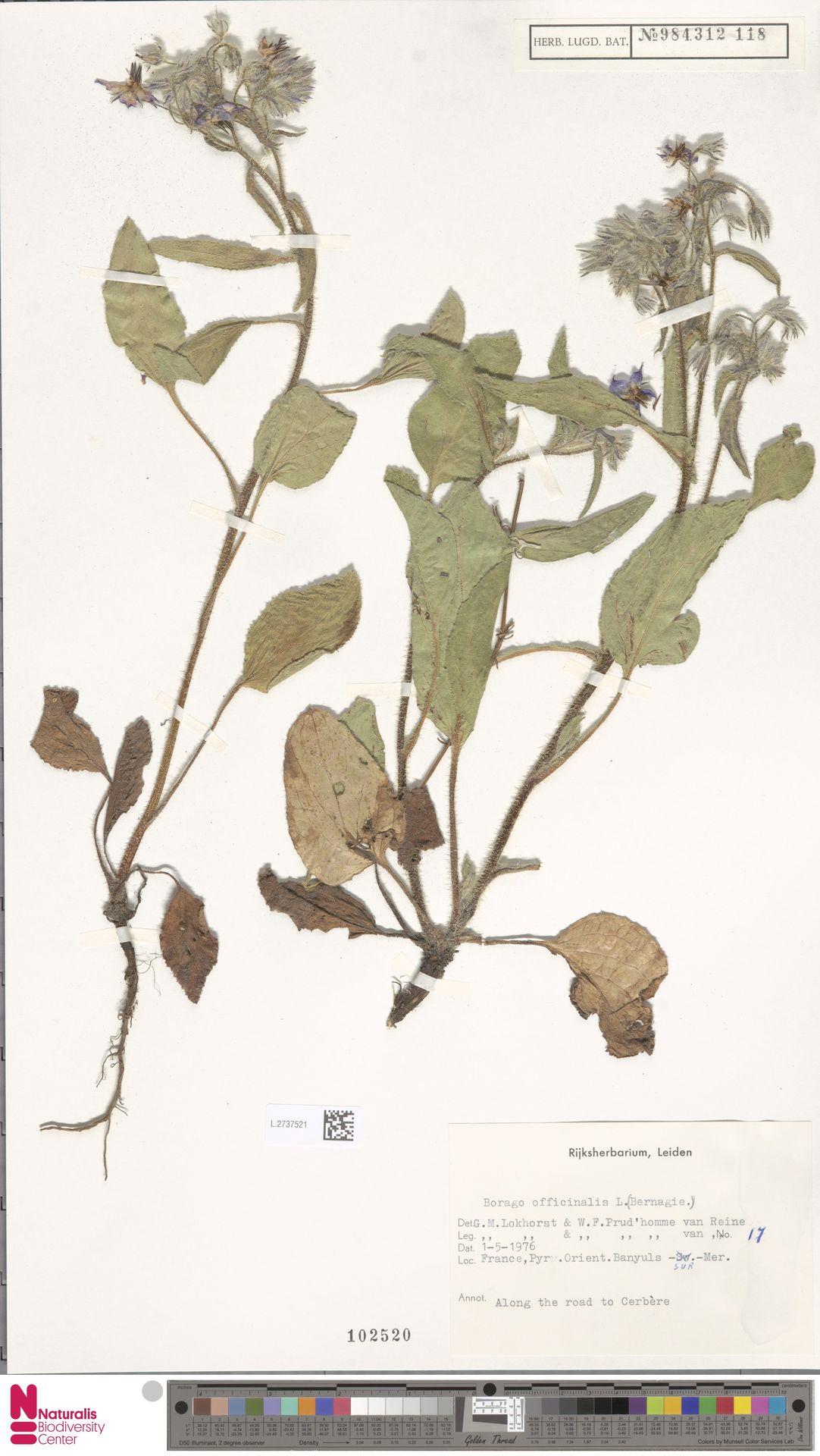 L.2737521 | Borago officinalis L.