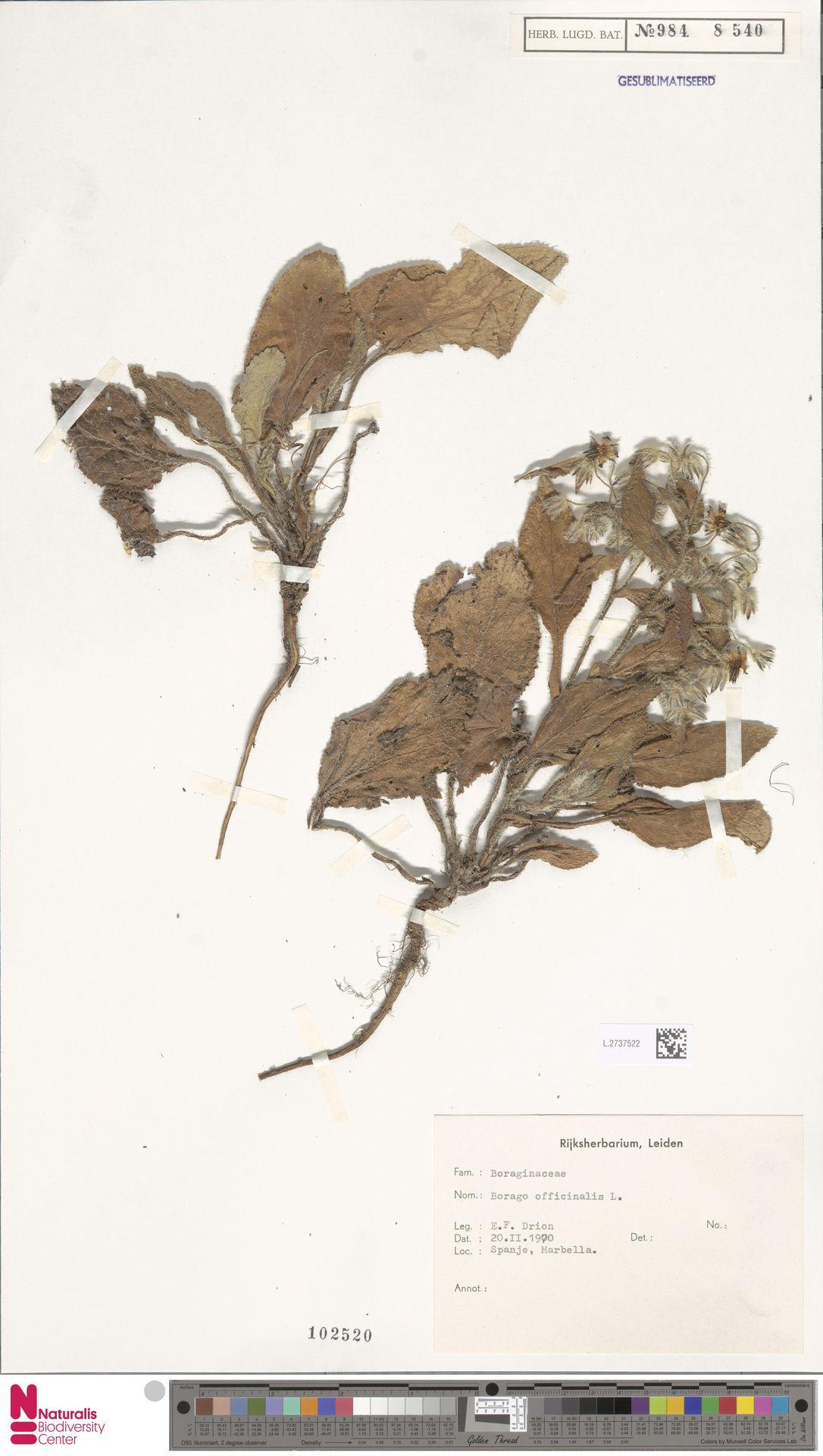 L.2737522 | Borago officinalis L.