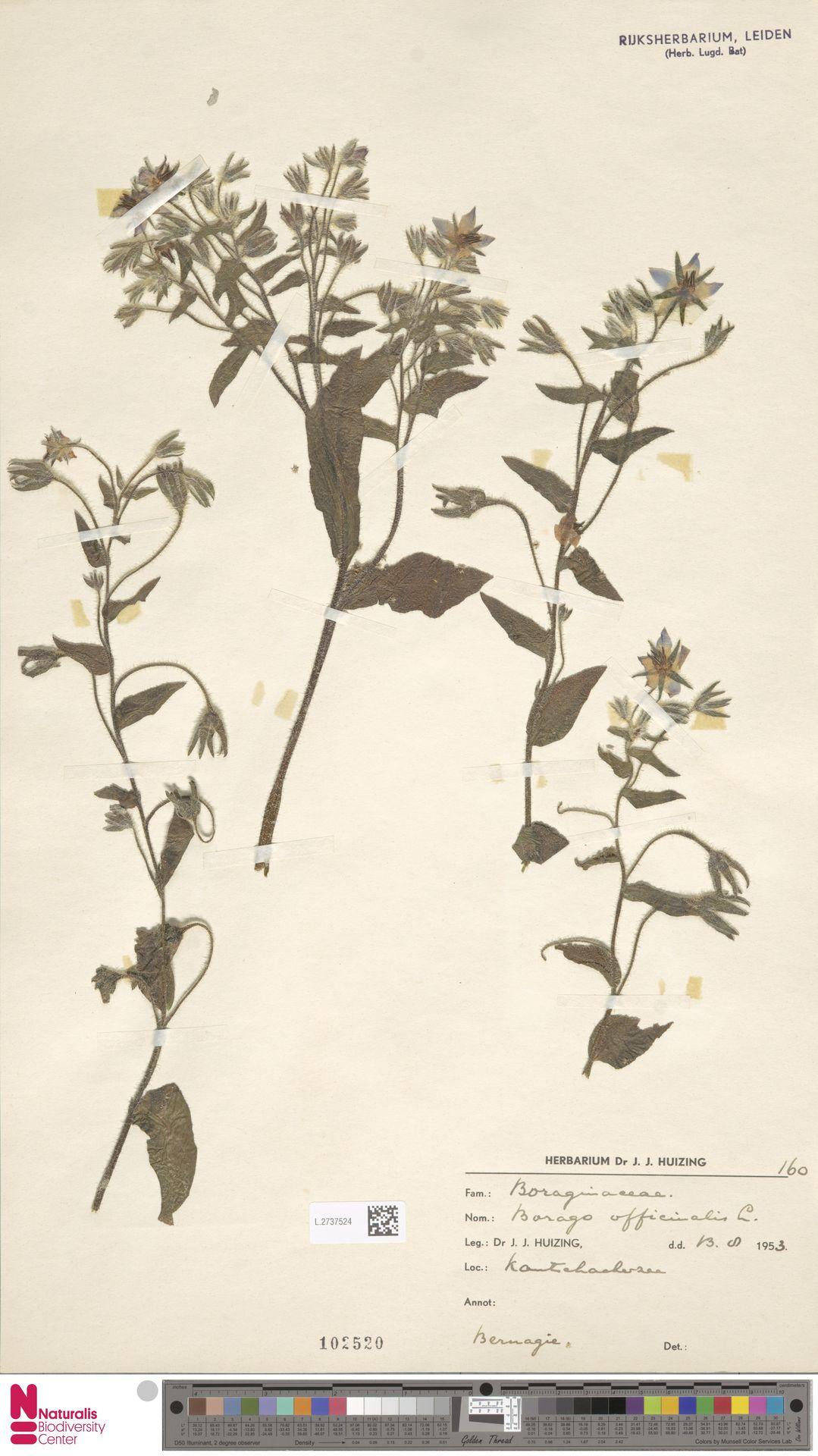 L.2737524 | Borago officinalis L.