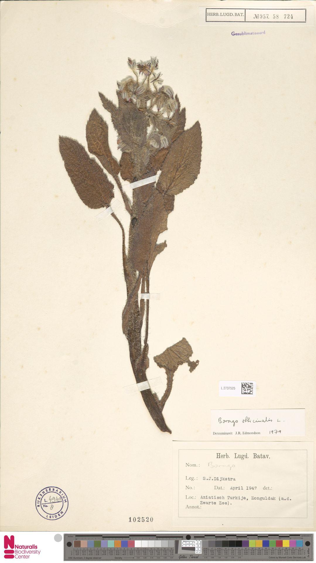 L.2737525 | Borago officinalis L.