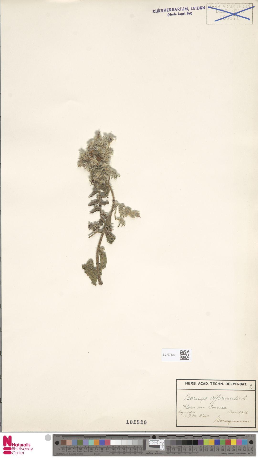L.2737526 | Borago officinalis L.
