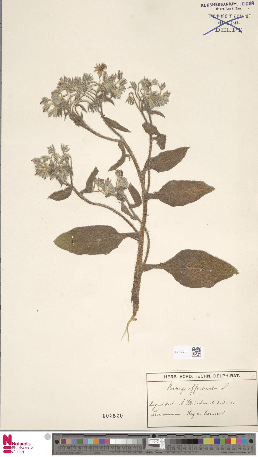 L.2737527   Borago officinalis L.