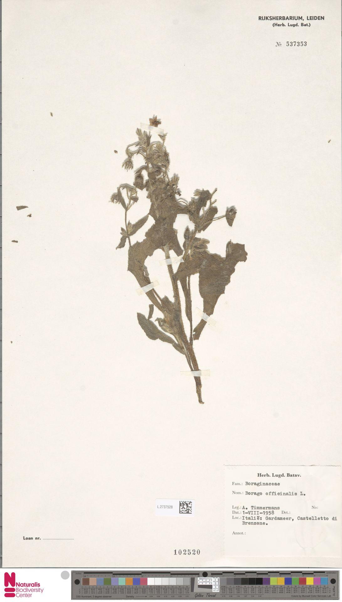 L.2737528 | Borago officinalis L.