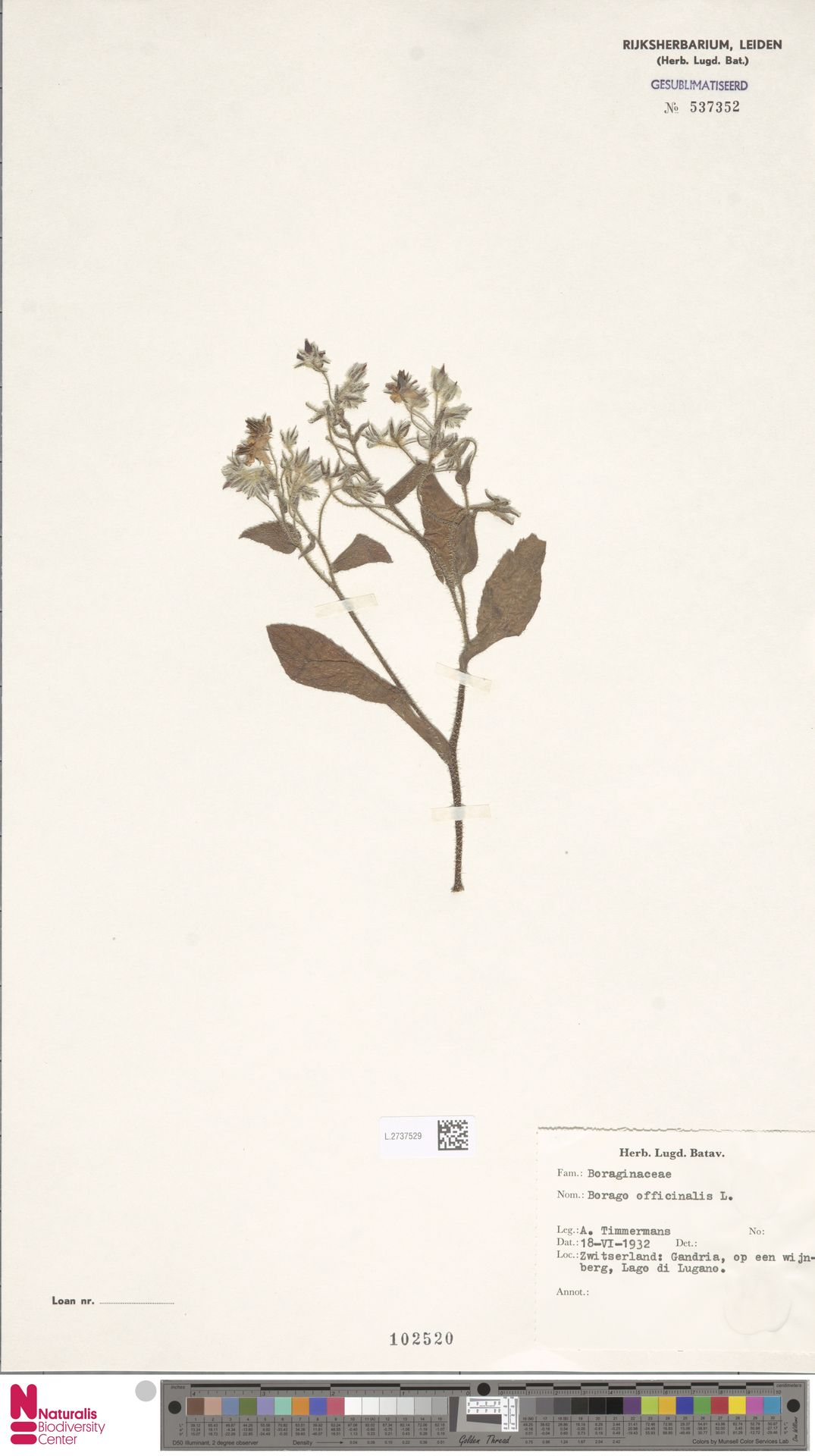 L.2737529   Borago officinalis L.