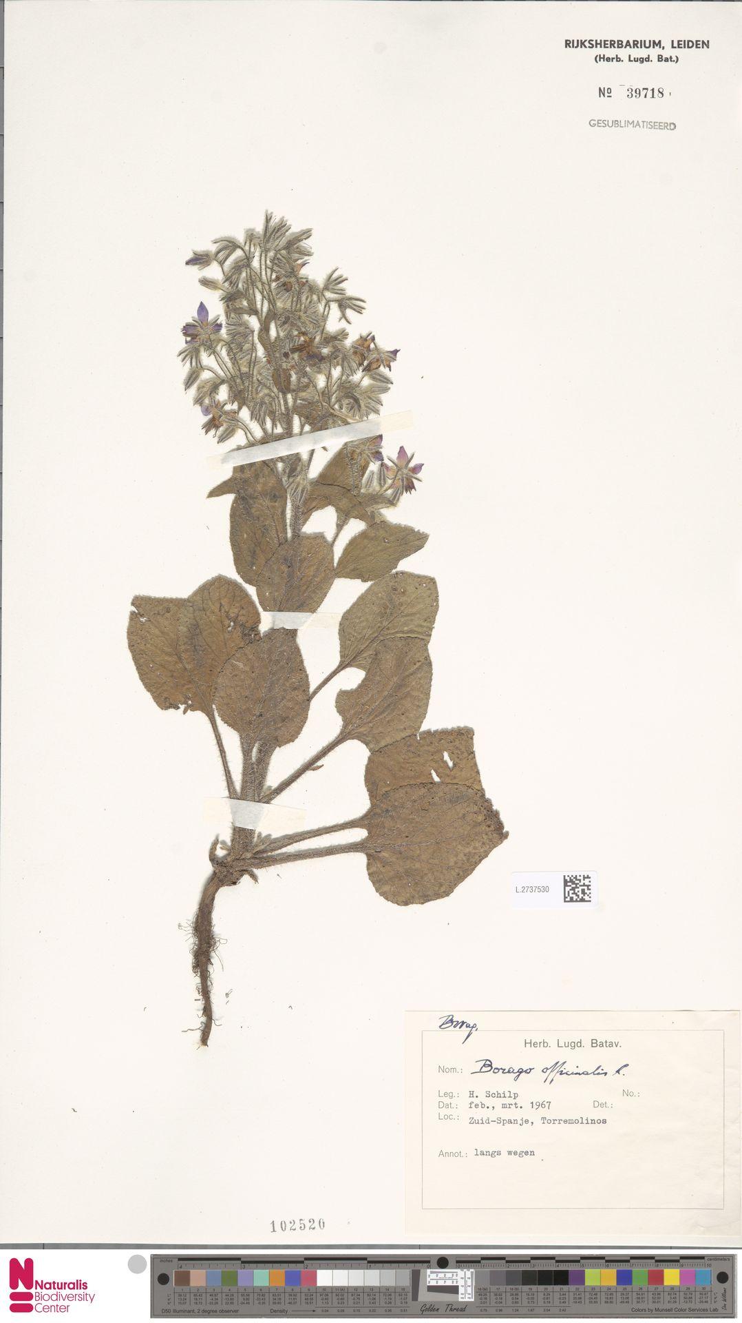 L.2737530 | Borago officinalis L.