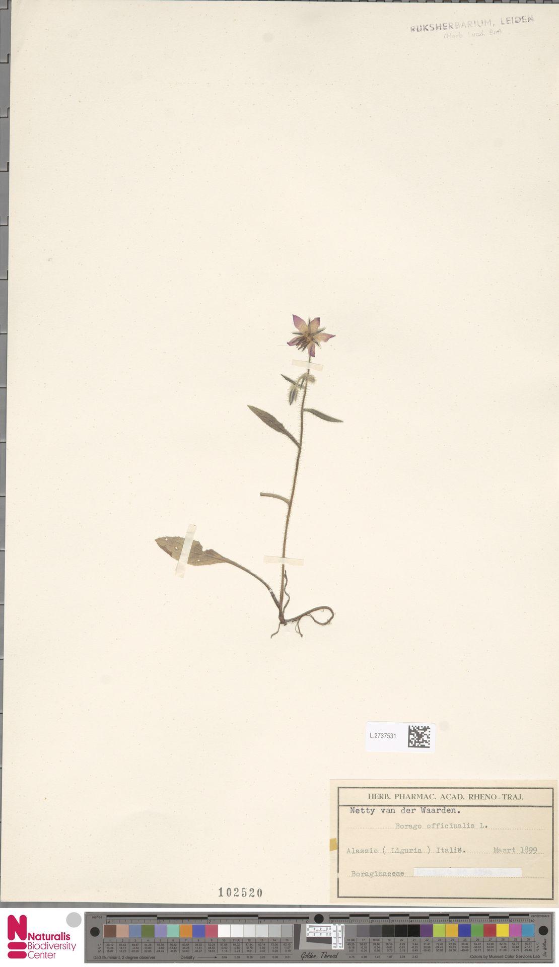 L.2737531 | Borago officinalis L.