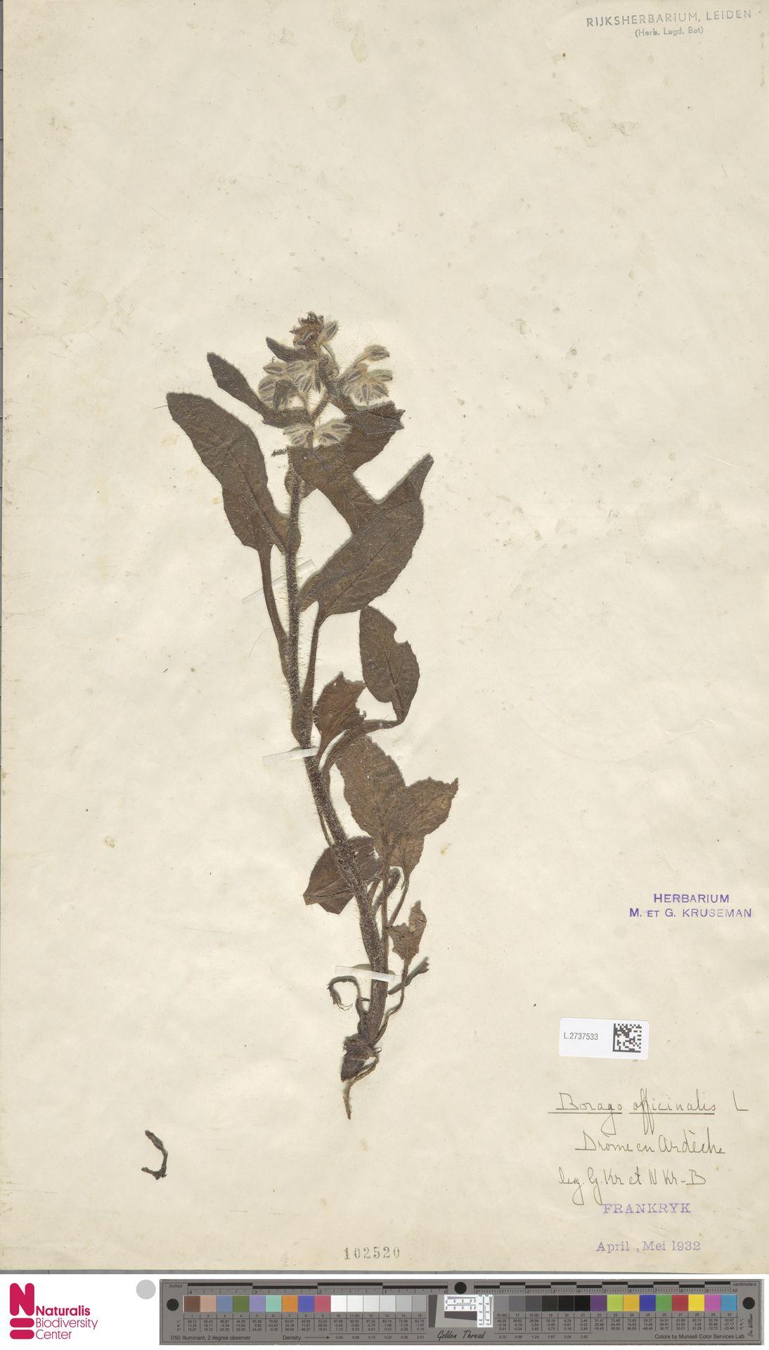 L.2737533 | Borago officinalis L.