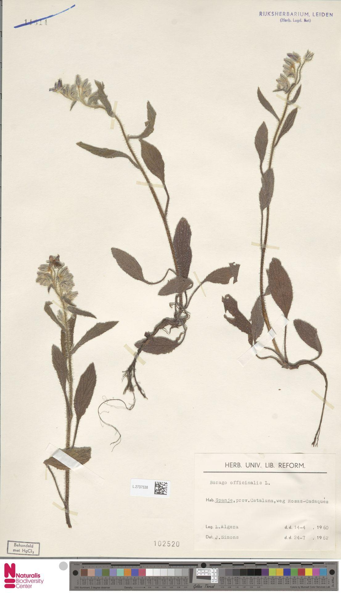L.2737538   Borago officinalis L.
