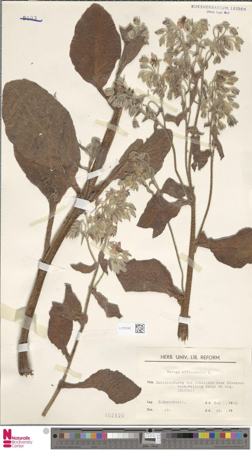 L.2737540 | Borago officinalis L.