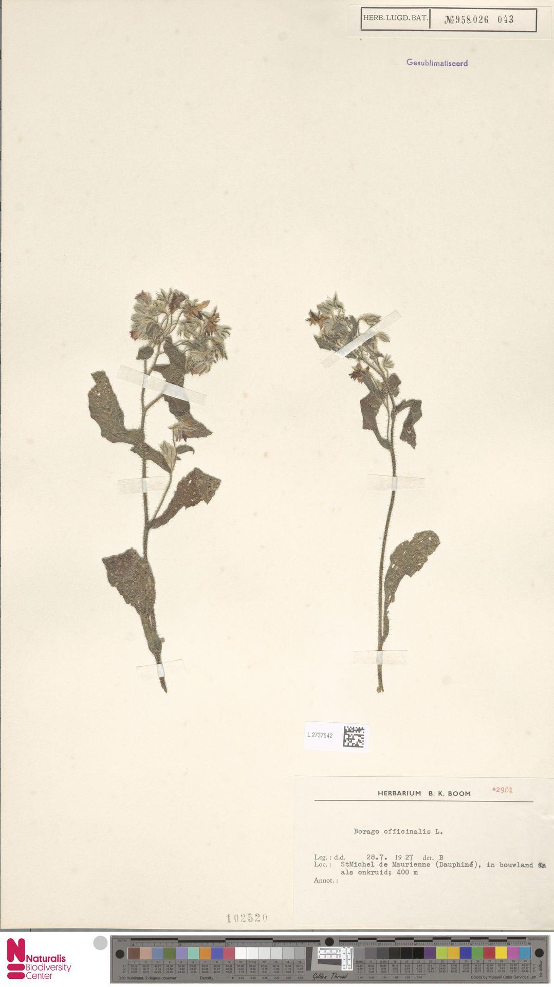 L.2737542 | Borago officinalis L.