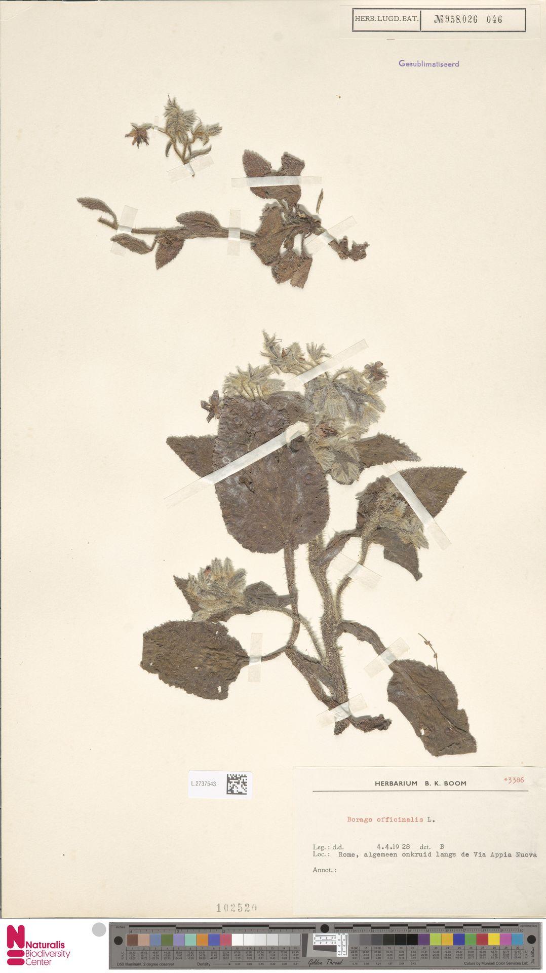 L.2737543 | Borago officinalis L.
