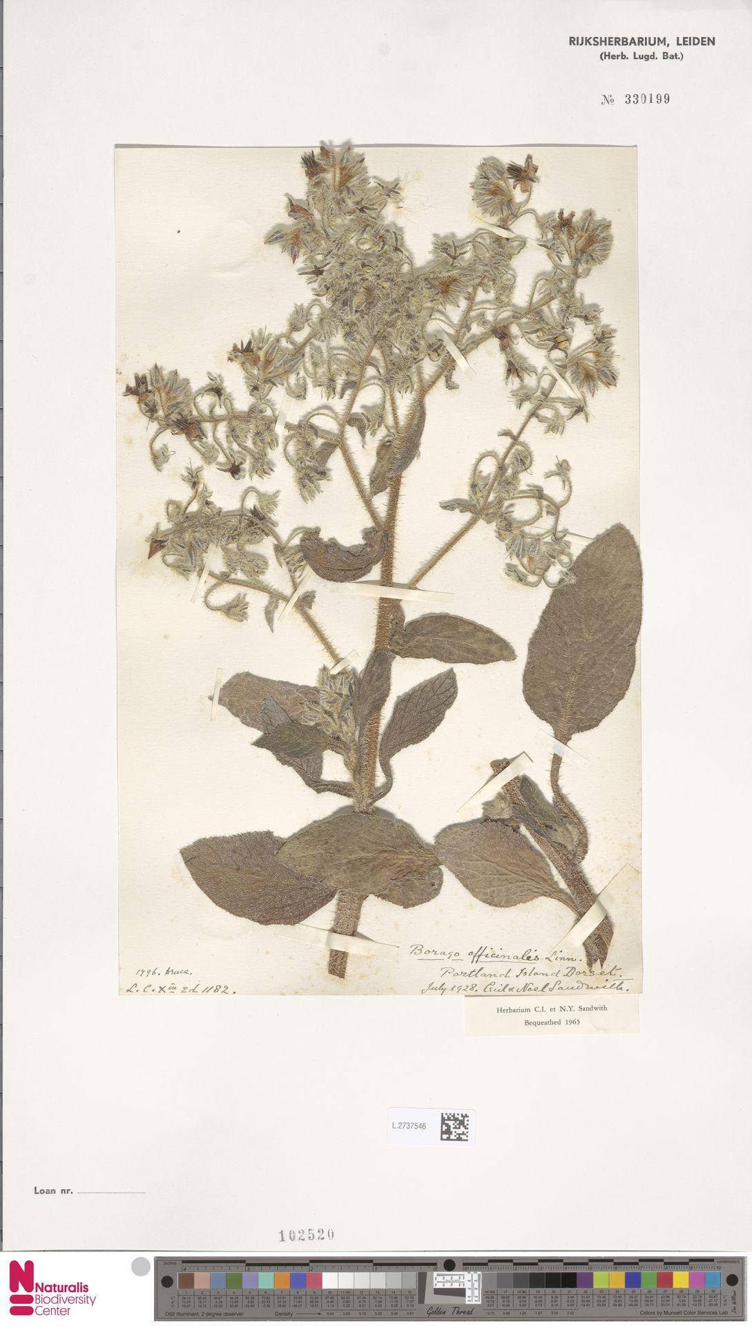 L.2737546 | Borago officinalis L.
