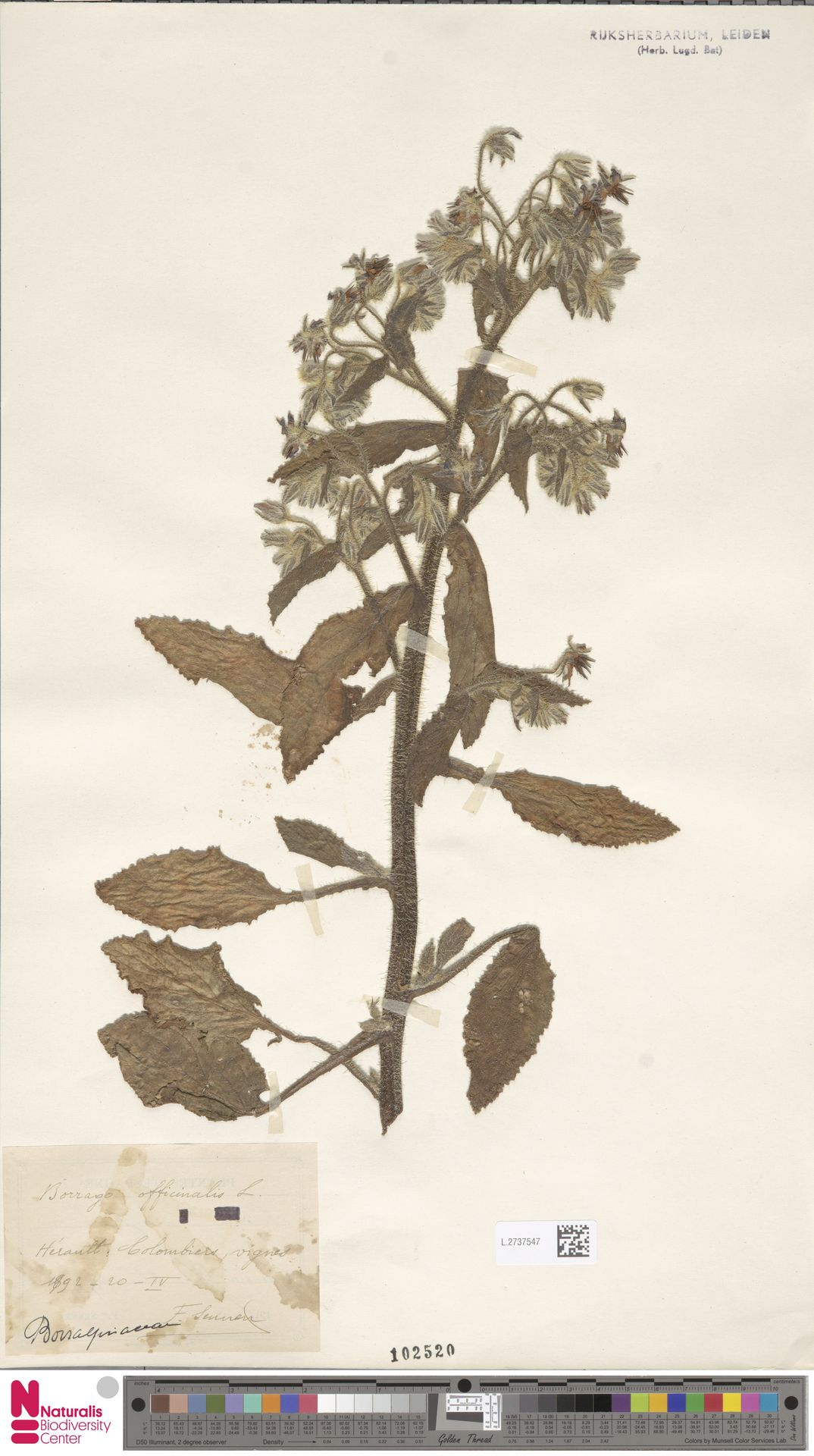 L.2737547 | Borago officinalis L.