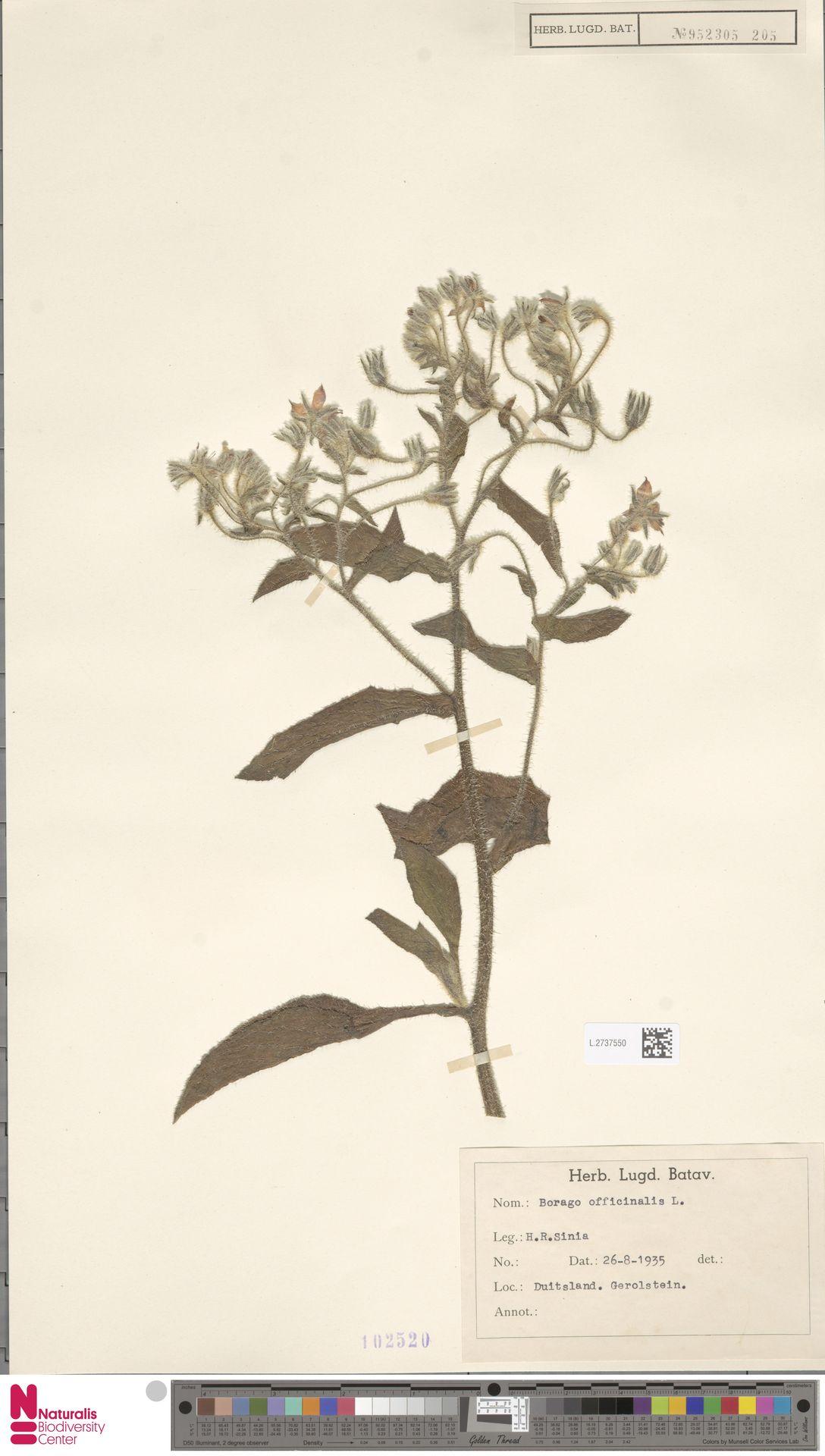 L.2737550 | Borago officinalis L.