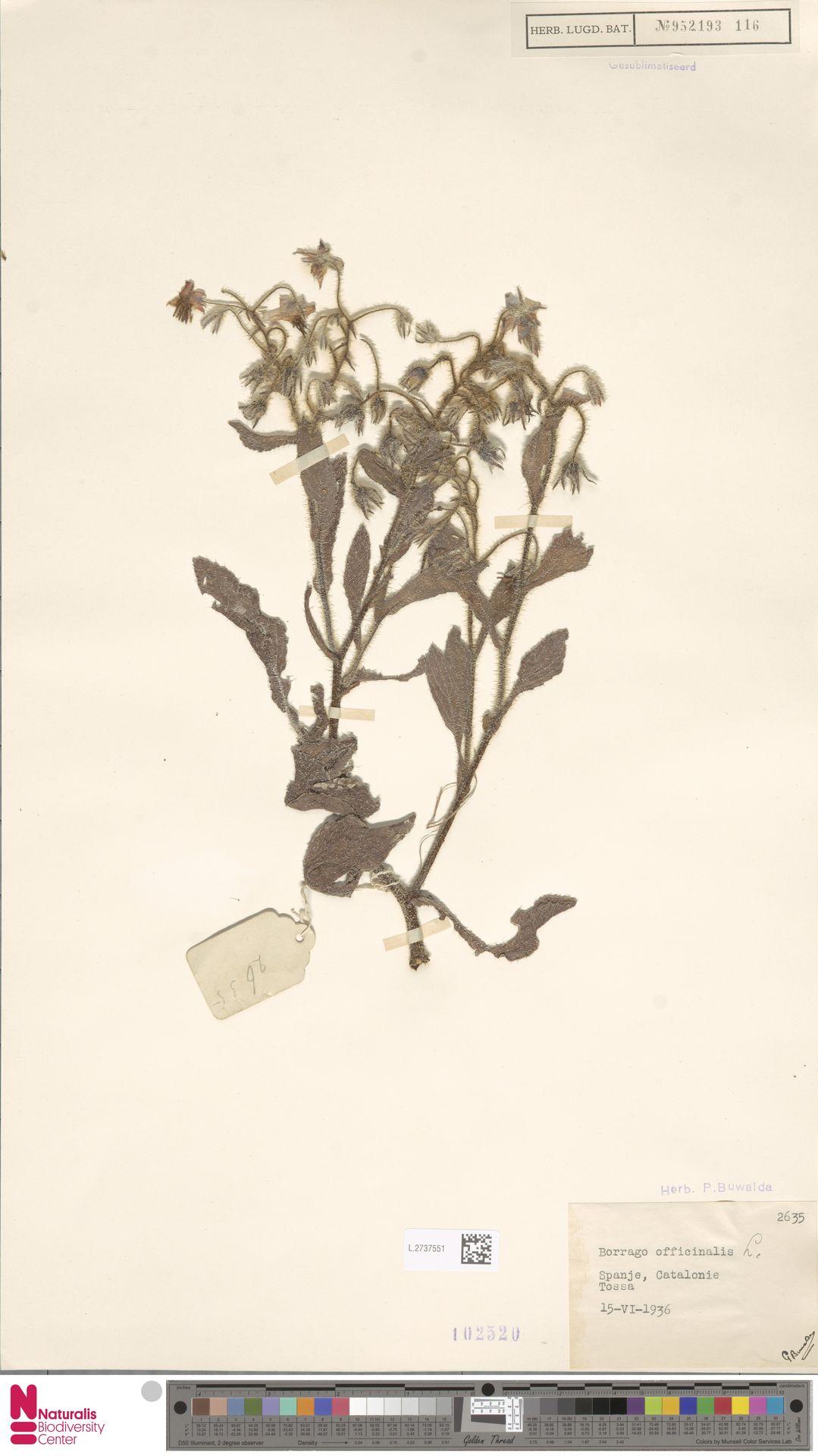 L.2737551 | Borago officinalis L.