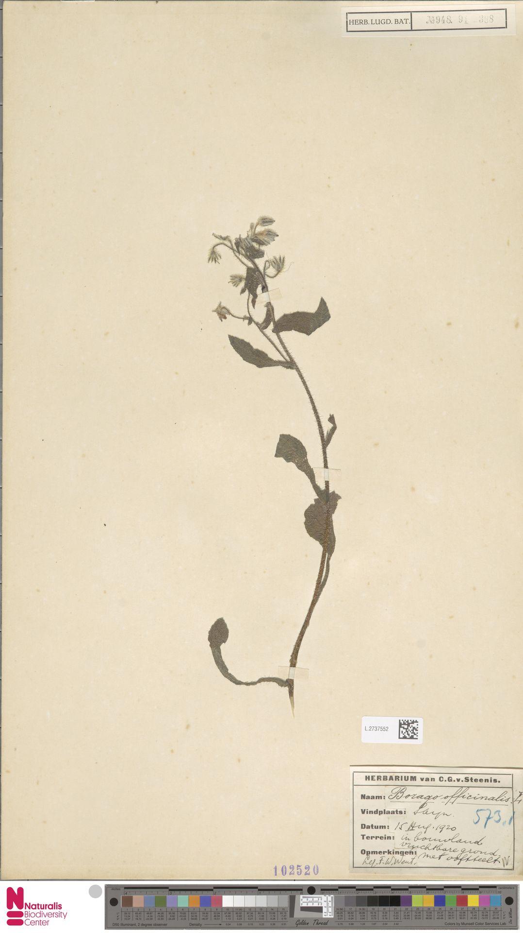 L.2737552 | Borago officinalis L.